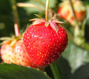 plantera jordgubben Royaltyfri Foto