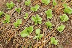 Plantera kinakål i lantgård Fotografering för Bildbyråer