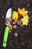 Plantera krokus Fotografering för Bildbyråer