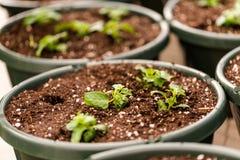 plantera krukar Royaltyfria Bilder