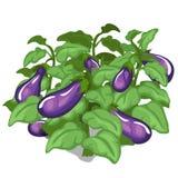 Plantera och odling av aubergine vektor royaltyfri illustrationer