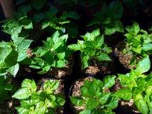 Plantera på trädgården Fotografering för Bildbyråer