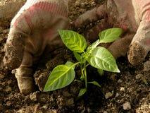 Plantera pepparplantor Royaltyfria Bilder