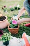 Plantera petuniaväxter arkivfoto