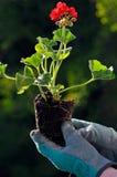 plantera plantor Royaltyfri Fotografi