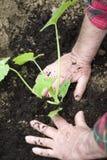 plantera plantor Fotografering för Bildbyråer