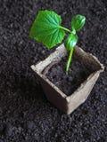 Plantera plantor av gurkor i jordningen Gurkaplanta, innan att plantera Arkivbilder