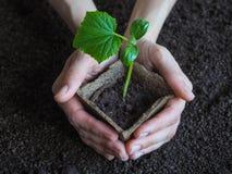 Plantera plantor av gurkor i jordningen Gurkaplanta, innan att plantera Arkivbild
