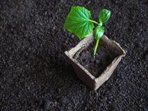 Plantera plantor av gurkor i jordningen Gurkaplanta, innan att plantera Royaltyfri Bild