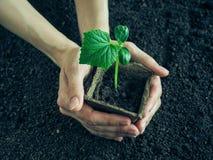 Plantera plantor av gurkor i jordningen Gurkaplanta, innan att plantera Arkivfoto