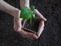 Plantera plantor av gurkor i jordningen Gurkaplanta, innan att plantera Royaltyfria Foton
