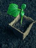 Plantera plantor av gurkor i jordningen Gurkaplanta, innan att plantera Fotografering för Bildbyråer