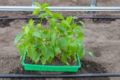 Plantera plantor av spansk peppar i växthus Royaltyfria Bilder