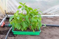 Plantera plantor av spansk peppar i växthus Fotografering för Bildbyråer