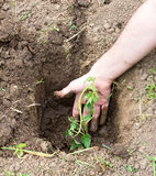 Plantera plantor av tomater i jordningen Arkivbild