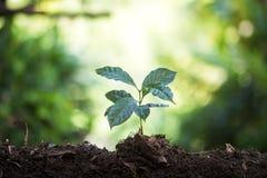 Plantera plantor för ett kaffe för växt för naturlig bakgrund för träd i ny naturgräsplan Royaltyfri Bild