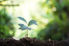 Plantera plantor för ett kaffe för växt för naturlig bakgrund för träd i ny naturgräsplan Royaltyfri Fotografi