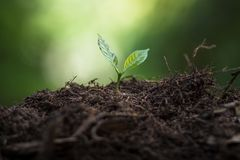 Plantera plantor för ett kaffe för växt för naturlig bakgrund för träd i ny naturgräsplan Arkivfoto