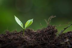 Plantera plantor för ett kaffe för växt för naturlig bakgrund för träd i ny naturgräsplan Fotografering för Bildbyråer