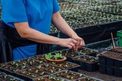 Plantera plantor in i krukor Royaltyfria Foton