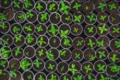 Plantera plantor i plast- askar, bästa sikt, i det moderna hydroponic växthuset för odlingblommor Fotografering för Bildbyråer