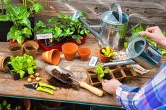 Plantera plantor i växthus Royaltyfria Foton