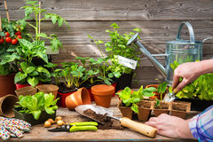Plantera plantor i växthus Arkivfoton