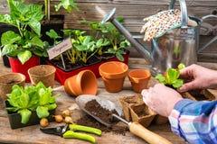 Plantera plantor i växthus Arkivfoto