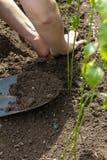Plantera plantor på våren med en skyffel Arkivbilder