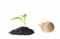 plantera potatisar Arkivfoto