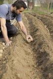 plantera potatisar Arkivbilder