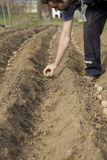 plantera potatisar Royaltyfri Bild
