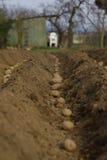 plantera potatisar Arkivbild