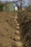 plantera potatisar Royaltyfri Foto