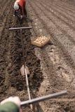 plantera potatisar Fotografering för Bildbyråer