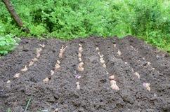 plantera potatisar Royaltyfria Bilder