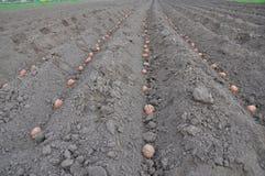 plantera potatisar Börja för chiper Royaltyfria Bilder