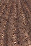 Plantera potatisar för skörd Arkivbild