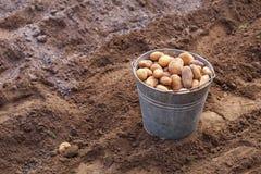 Plantera potatisar för skörd Royaltyfri Fotografi