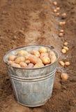 Plantera potatisar för skörd Arkivbilder