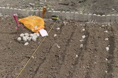 Plantera potatisar i grönsakträdgård Royaltyfri Fotografi