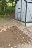 Plantera potatisar i grönsakträdgård Arkivfoton