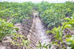 Plantera potatisar med irrigationalsystemet Arkivbild
