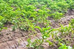Plantera potatisar med irrigationalsystemet Arkivbilder