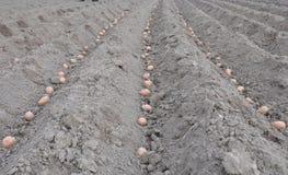 plantera potatisar numret för bakgrundsfältblomning planterar vita potatispotatisar Royaltyfri Fotografi