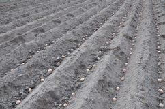 plantera potatisar numret för bakgrundsfältblomning planterar vita potatispotatisar Royaltyfria Bilder