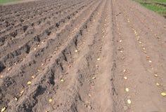 plantera potatisar numret för bakgrundsfältblomning planterar vita potatispotatisar Arkivfoton