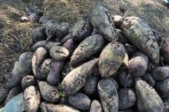 Plantera potatisar och tomater i chernozem Royaltyfri Foto
