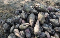 Plantera potatisar och tomater i chernozem Royaltyfria Bilder