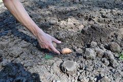 Plantera potatisar och tomater i chernozem Fotografering för Bildbyråer